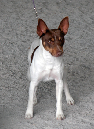 Nimh Kennel Raising Rat Terriers To Do It All In Southwest Virginia
